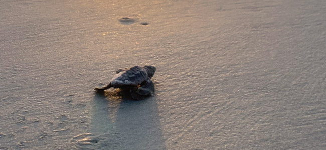 Georgia Southern Plays Role in Growing Sea Turtle Populations