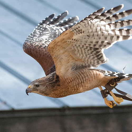 a hawk flying to the left