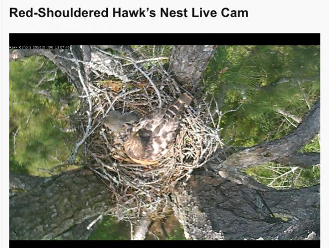 Red-shoulder hawks cam 2
